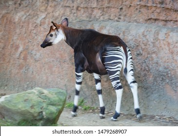 Okapi is a striped giraffe.  In appearance the Okapi is similar to the Zebra, but the Okapi is a relative of the giraffe. Okapi is a species belonging to the order of cloven-hoofed, living in  Congo.
