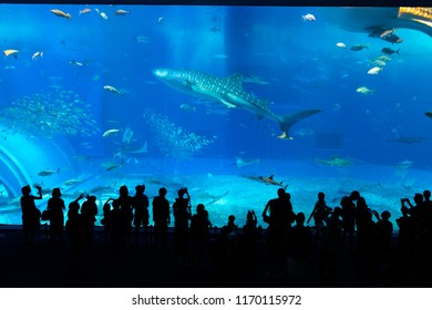 Okinawa Aquarium with Beautiful Whale sharks and various kinds of fish swimming in the main tank. Silhouettes of People observing fish at the aquarium. Location: Okinawa Churaumi Aquarium, Japan.