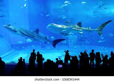 Okinawa Churaumi Aquarium, Okinawa / Japan - Nov 16 2017: Visitors at the Kuroshio Sea main tank, watching whale shark swimming in Okinawa Churaumi Aquarium, one of the largest aquariums in the world,
