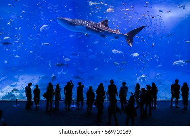 Okinawa , Japan - 05 Oct. 2013: Tourists watch whale shark swimming in Okinawa Churaumi Aquarium, It was the largest aquarium in the world until it was surpassed by the Georgia Aquarium in 2005.