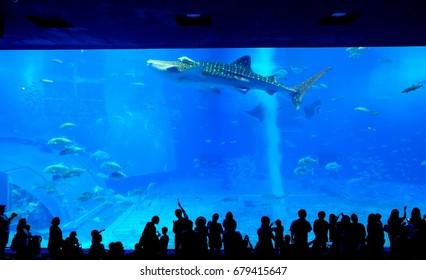 Okinawa, Japan - 10 May 2017: Okinawa Churaumi Aquarium,  one of the largest aquarium in Japan