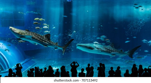 Okinawa, Japan – 15 August 2017: Looking at the whale sharks swimming through water inside the massive Kuroshio Tank in Churaumi Aquarium, Motobu, Okinawa.