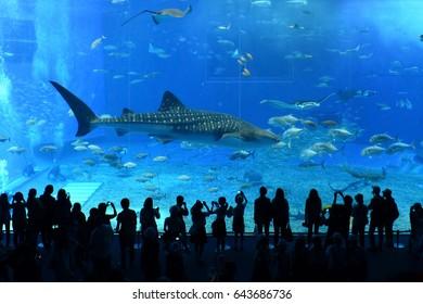 Okinawa, Japan - Apr 23, 2014 :Whaleshark in the Churaumi Aquarium, Ocean Expo Park, Okinawa, Japan