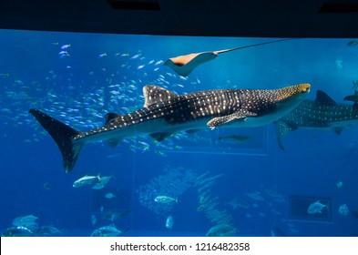 Okinawa, Japan - April 06, 2018:Looking at the whale sharks swimming through water inside the massive Kuroshio Tank in Churaumi Aquarium, Motobu, Okinawa.