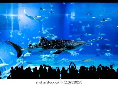 OKINAWA, JAPAN - Jan 14 2017: Okinawa Churaumi Aquarium in Okinawa , Japan, Silhouettes of people taking a photo in front.