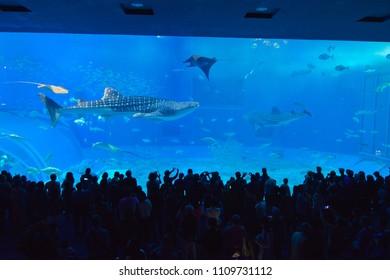Okinawa, Japan – JAN 29, 2018: whale shark swimming  in Churaumi Aquarium, Motobu in Okinawa.