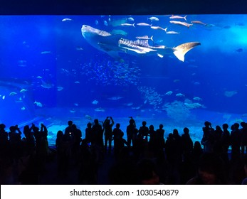Okinawa, Japan - January 22, 2018. Tourists watch whale shark swimming in Okinawa Churaumi Aquarium, one of the largest aquariums in the world, has succeeded in raising a number of whale sharks.