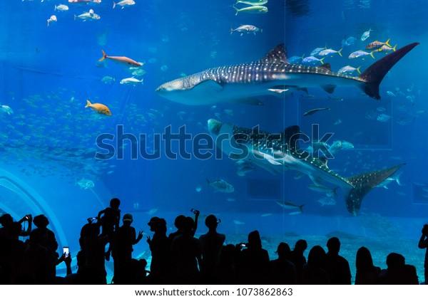 OKINAWA, JAPAN - MARCH 20, 2018: Whale sharks and various kinds of fish swimming in the main tank, called the Kuroshio Sea, at Okinawa Chiraumi Aquarium, in Motobu, Okinawa Prefecture, Japan