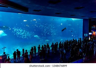 Okinawa, Japan - Oct 27, 2018: Whale shark and fish in Okinawa Churaumi Aquarium