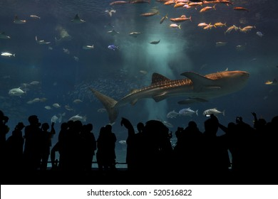 Okinawa, Japan - October 22, 2016: Silhouettes of people to see giant whale shark underwater in Churaumi Aquarium, the place located within the Ocean Expo Park in Okinawa Japan