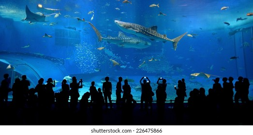OKINAWA, JAPAN - OCTOBER 24 : Whale shark in Okinawa Churaumi Aquarium taken October 24, 2013 in Okinawa. This Aquarium is the biggest of Japan aquarium.