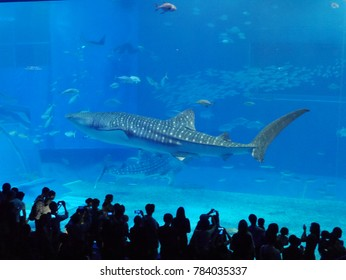 Okinawa, Japan -October 27 Whale shark in Okinawa Churaumi Aquarium taken October 27, 2017 in Okinawa
