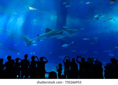 OKINAWA, JAPAN - September 29, 2016 : Whale Shark at Okinawa Churaumi Aquarium this one of the largest aquariums in the world