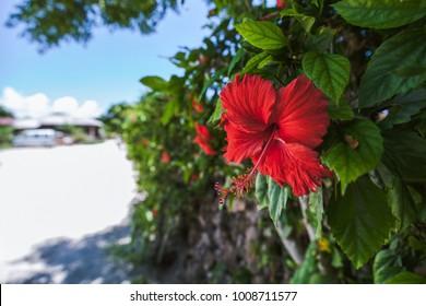 okinawa tropical flower hibiscus