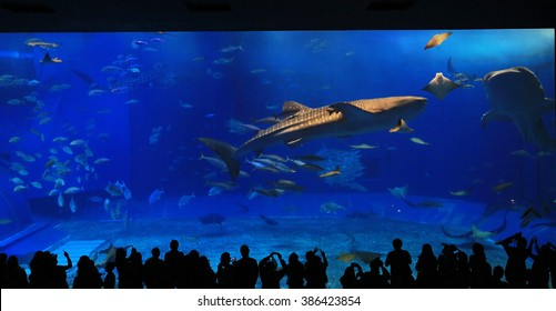 OKINAWA;JAPAN, FEB 17: the unidentified tourists take photo with the whale sharks in front of Kuroshio Sea tank in Okinawa Churaumi Aquarium on 17 February 2016.  it is the biggest aquarium in japan