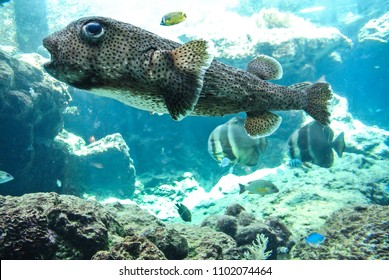 Okinawa,Japan-18th September ,2017 Okinawa Churaumi Aquarium,Japan
