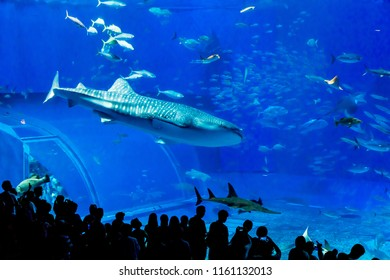OKINAWA,JAPAN-AUGUST 11,2018: Many tourists Watch the behavior of a large whale shark at the Okinawa churaumi aquarium