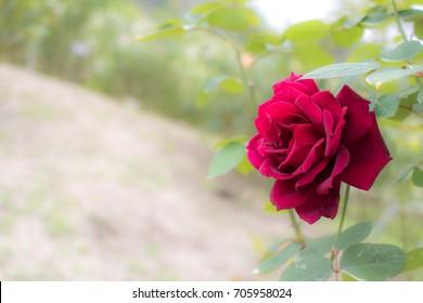 Oklahoma; Hybrid Tea Rose, Red Rose Made by Swim & Weeks in USA, 1964