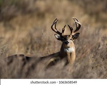 Oklahoma Whitetail Buck 25