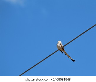 Oklahoma's State Bird the Scissor-Tailed Flycatcher Perched on a Electric Wire in Ardmore, Oklahoma