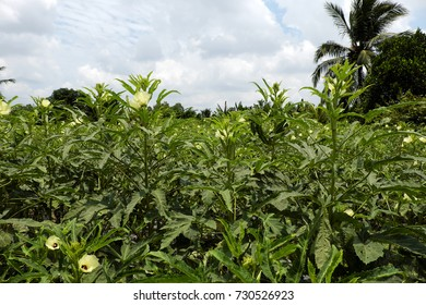 Okra plant on agriculture field at Mekong Delta, Vietnam, a healthy vegetable, popular agricultural produce