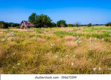 Old Abandoned  Barn in a Large Field with White Wildflowers and Prairie Grass in Rural Oklahoma.