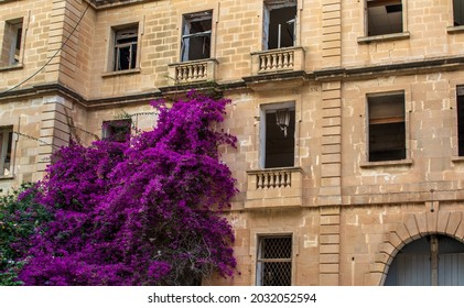 Old abandoned ruined building overgrown with lush vibrantly magenta coloured Bougainvillea branches.