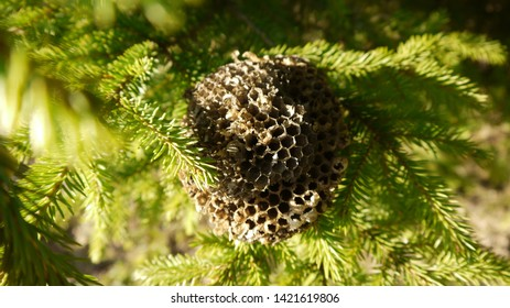 A old abandoned wasp nest amongst branches of evergreen.