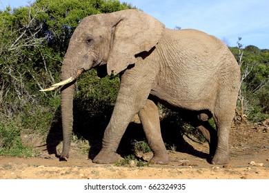 An old African elephant with a ragged ear walks through the bush