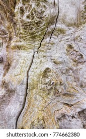 Old aged beech tree showing beautiful texture, coloration and patterns in the bark background