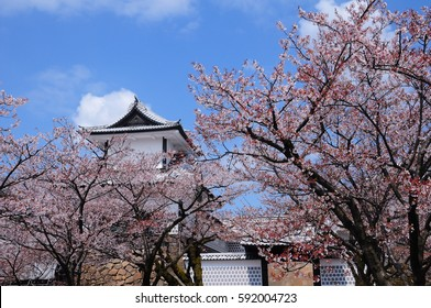 Old aged public white Japanese castle in Kanazawa city with full bloom sakura cherry blossom tree garden for traveller to enjoy free beautiful nature