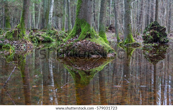 Old alder trees moss wrapped reflex in water, springtime alder-bog stand, Bialowieza Forest, Poland, Europe