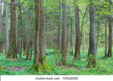 Old alder trees in spring with broken one in foreground, Bialowieza Forest, Poland, Europe