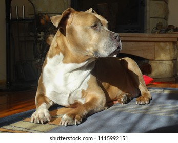 Old amstaff female lying on a rug in front of a fireplace, her head held up