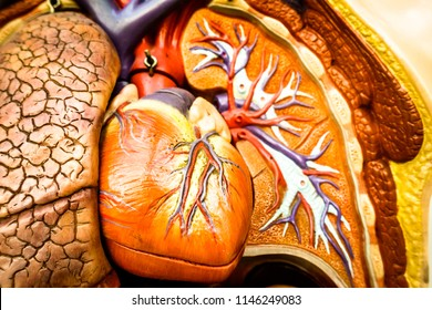 old anatomy model - heart and lung