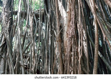Old ancient Banyan tree with long roots that start at the top of the branches to the ground