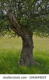 Old apple tree in Beskydy in Czech republic