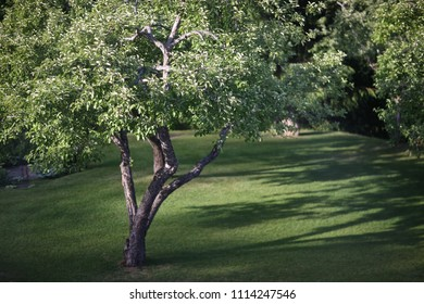 An old apple tree in a garden with a green lawn in the evening