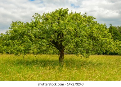 old apple tree in the meadow in spring time
