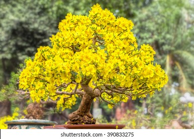 Old apricot tree in spring with blooming tree shape solid pyramid for Apricot bloom bright yellow flowers in the spring garden