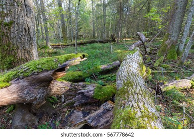 Old ash tree broken lying and natural deciduous stand in fall, Bialowieza Forest, Poland, Europe