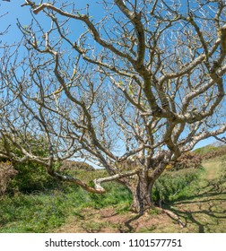 Old ash tree (Fraxinus exelsior) growing near the cliffs on the south coast of Cornwall, UK