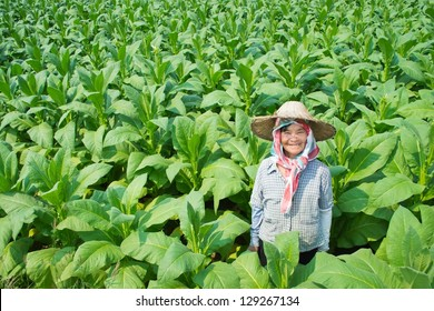 old asian woman farmer in tobacco farm of thailand