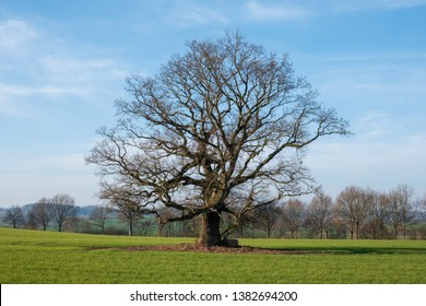 Old bald oak with mighty treetop on a green field in front of blue sky, Schleswig-Holstein