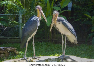Old, balding pelicans in the zoo. birds live in the aviary.
