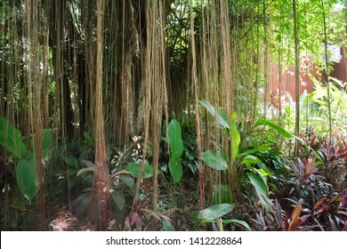 Old Balete tree usually found in South east Asia