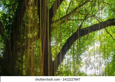 Old Balete Tree where thread like hanging. Usually found in South East Asia