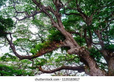 The old banyan tree leaves vivid image