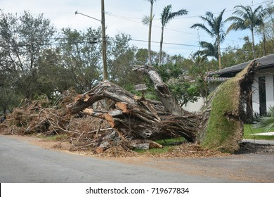 Old banyan tree uprooted by hurricane Irma in Florida