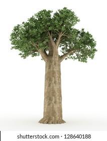 old baobab trees isolated on white